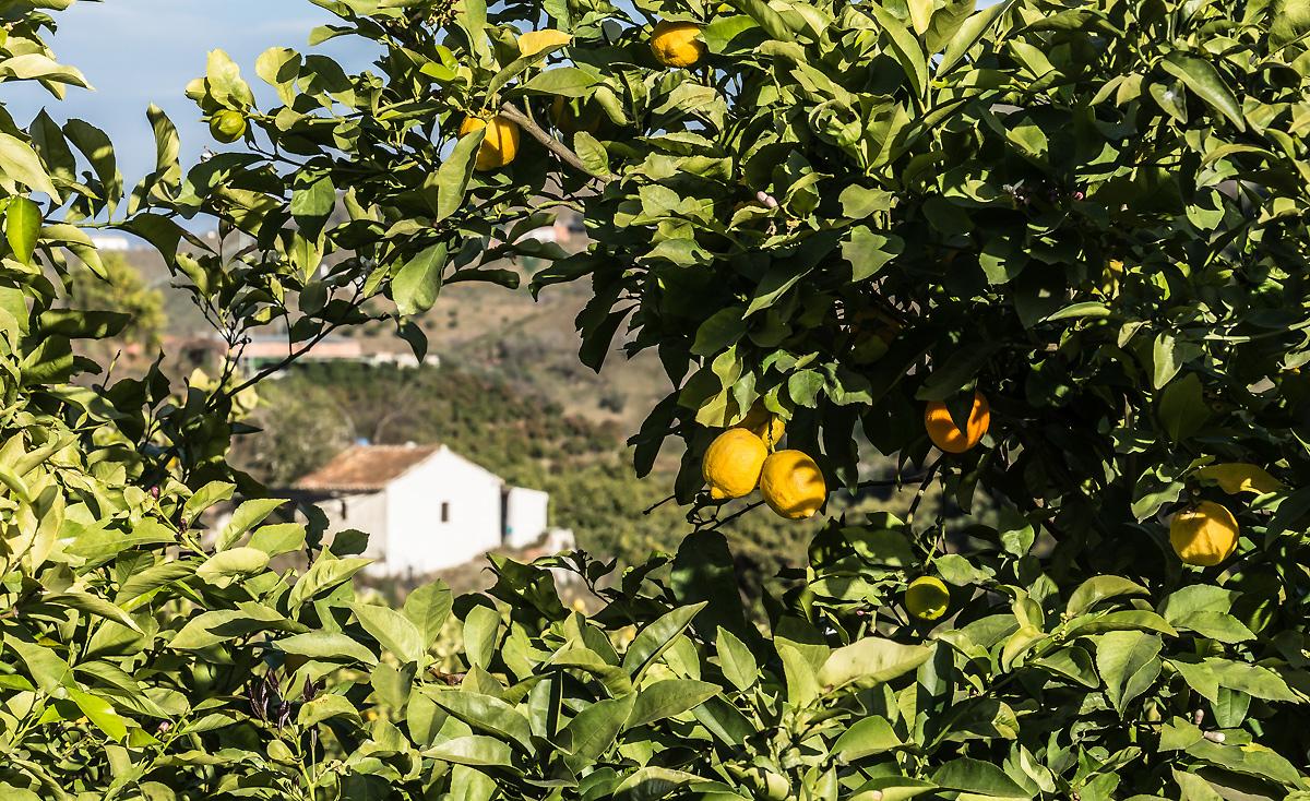 финка с лимонами в Пуэбло в Испании