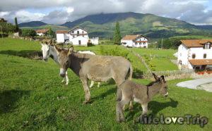 бычки и ослы в деревне в Испании