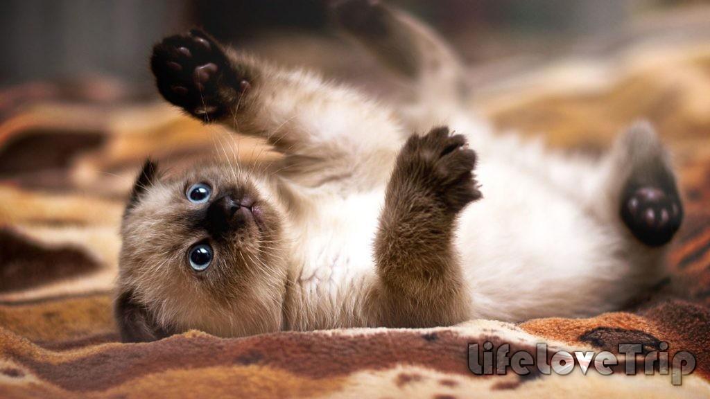 сиамские кошки очень независимые