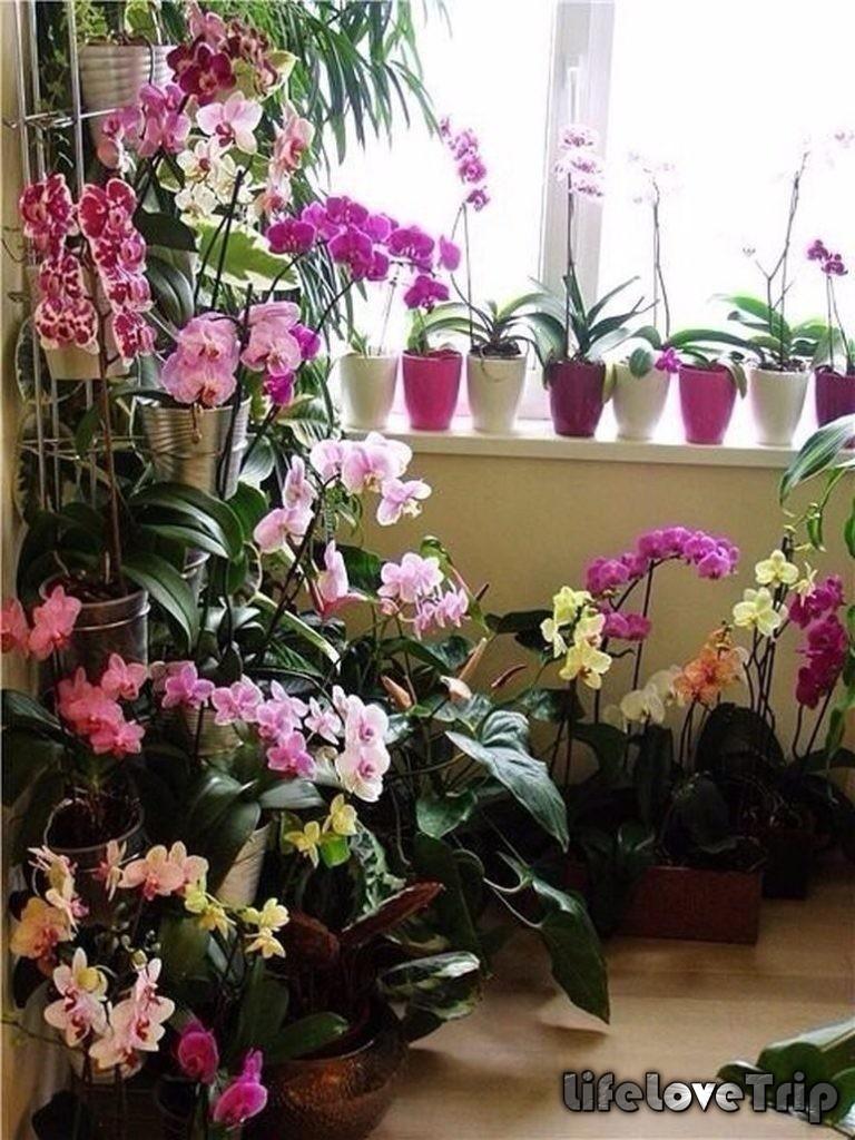 орхидеи прекрасно чувствуют себя на балконе