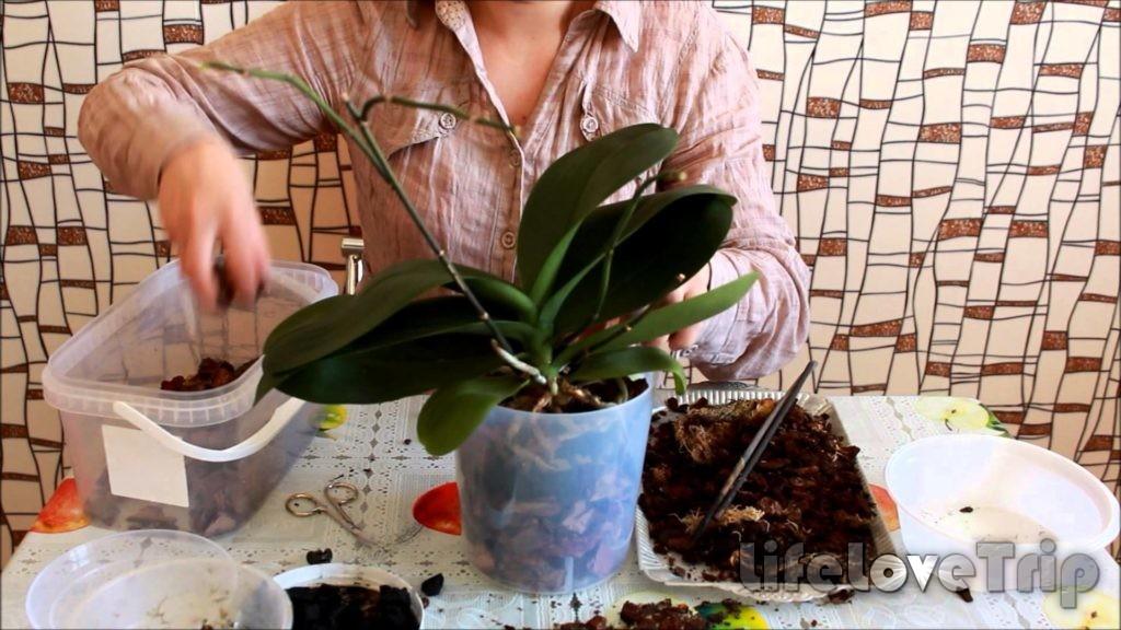 правильно и своевременно пересаживайте орхидеи