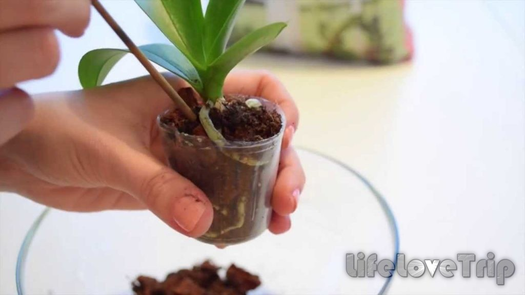 маленькие детки орхидеи - гордость хозяйки
