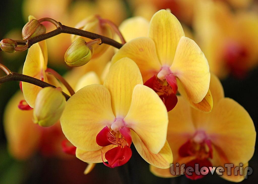 желтый фаленопсис похож на бабочку