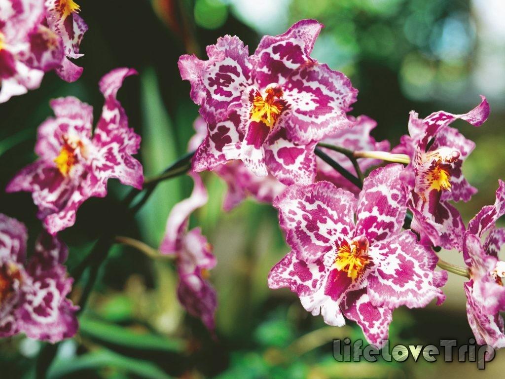 тигровая расцветка достаточно редкая среди орхидей