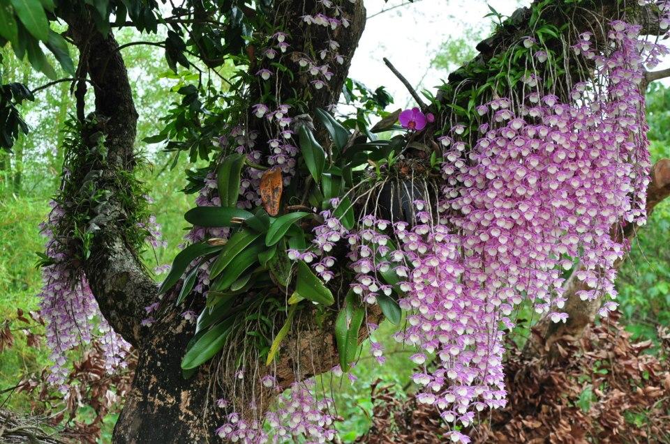 орхидеи живут в природе на деревьях
