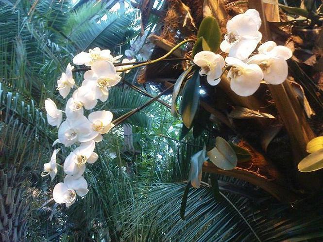 белый фаленопсис на пальме