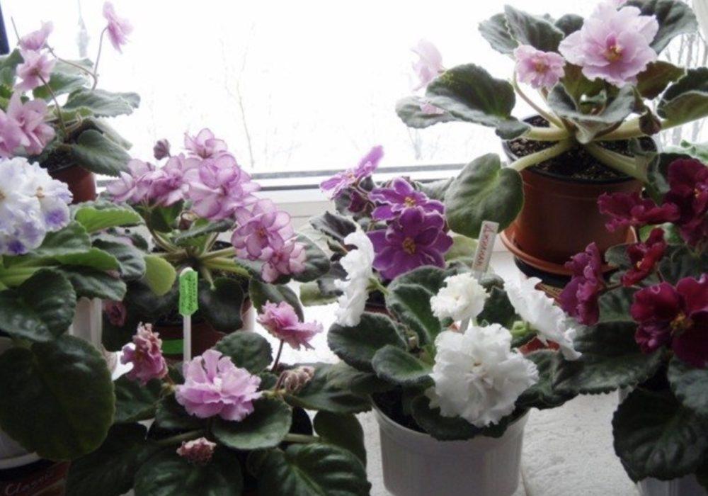 фиалка фото цветов