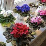 Выращиваем фиалки на подоконниках: просто и красиво