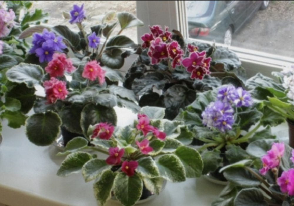 цветение фиалок